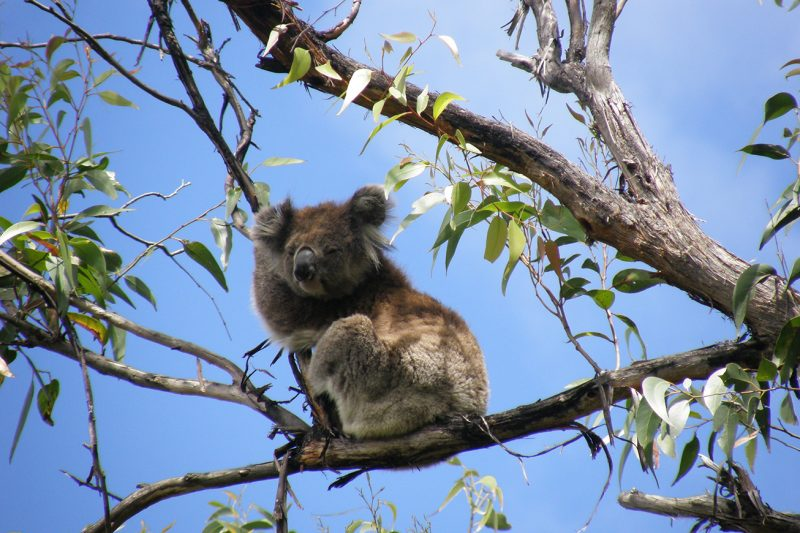 Koala - Australien 2008
